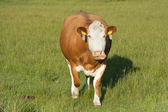Grazing Hereford cow — ストック写真