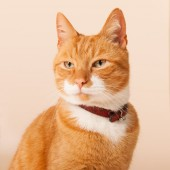 Red cat on beige background — Stock Photo