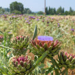 Field artichoke with purple flowers — Stock Photo #71880557