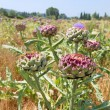 Field artichoke with purple flowers — Stock Photo #75070679