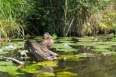 Couple Mallard ducks — Stock Photo