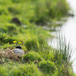 Coot on nest — Stock Photo #75349479