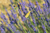 Common brimstone butterfly on Lavender — Stock Photo