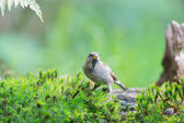 Sparrow drinking water — Stock Photo