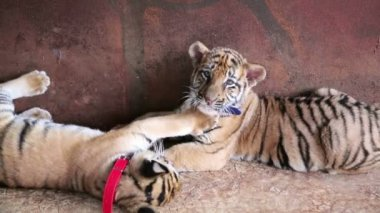 Tiger babies playing — Wideo stockowe