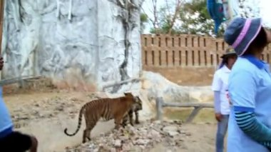 People with tigers in tiger temple — Стоковое видео
