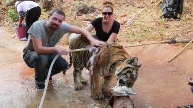 People washing tiger — Stock Video