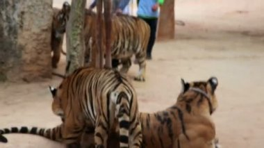 People with tigers in tiger temple — Stock Video