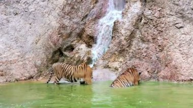 Tigers in the waterfall — Wideo stockowe