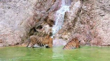 在瀑布的老虎 — 图库视频影像