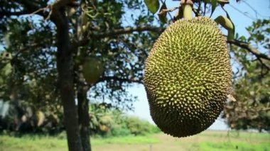 Jackfruit tree — Stock Video
