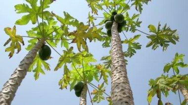 Alberi di papaia — Video Stock