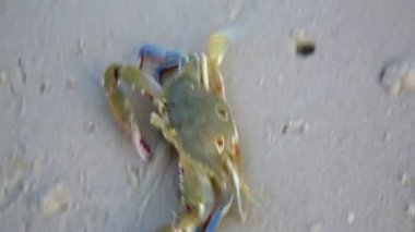 Blue crab at beach — Stock Video