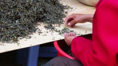 Woman worker separating tea leaves — Stock Video