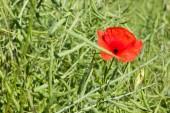 Poppy in canola field — ストック写真