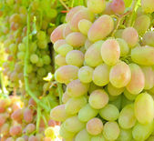Cluster of desert grape — Stock Photo