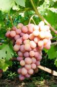 Cluster of pink grape — Stock Photo