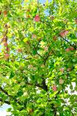 Red apples on a tree — Stock Photo
