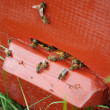 Bees near the entrance of hive — Stock Photo #52388585