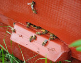 Bees near the entrance of hive — Stock Photo