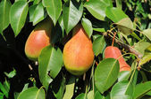 Three ripe pears on the tree — Stock Photo