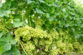 Row of green grape — Stock Photo
