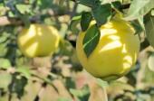 Raio de sol na maçã amarela — Foto Stock