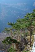 Several pines above steep precipice — Stock Photo