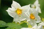 Beauty of white flowers of potato — Stock fotografie
