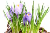 Several purple crocuses  in decorative basket — Stock Photo
