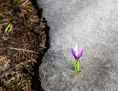 Early crocus risen from winter ice — Stock Photo