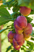 Branch of plum tree with  ripening fruits — Stock Photo