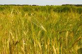 Barley field is getting yellow — Stock Photo
