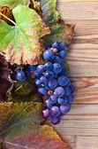 Blauwe druif — Stockfoto