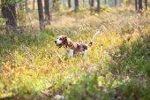Beagle en bosque — Foto de Stock