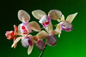 orchid on  green background — Stock Photo