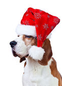 beagle in Santa hat isolated on white — Stockfoto