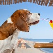 Beagle and cocktail — Stock Photo #66782905
