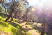 Defocused background of olive grove — Stock Photo