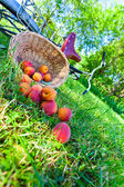 Scattered apricots — Stock Photo