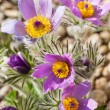 Detail of  pasque flower  — Stock Photo #70142103