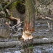 Trees damaged by beavers — Stockfoto #69611465