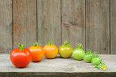 Evolution of red tomato - maturing process of the fruit - stages of development — Stock Photo