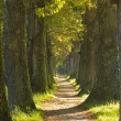 Big tree alley with small path — Stock Photo #57847801