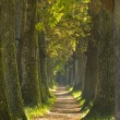 Big tree alley with small path — Stock Photo #57847835
