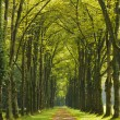Big tree alley with small path — Stock Photo #57847887