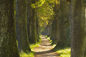 Big tree alley with small path — Stock Photo