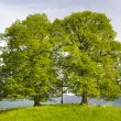 Two big linden trees — Stock Photo #64457145