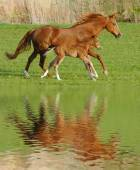 Horse in gallop with its foal — Stock Photo
