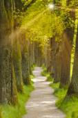 Big oak tree alley — Stockfoto